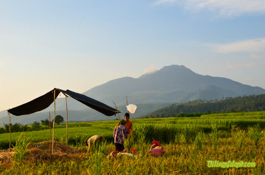 Threshing harvested rice by foot within view of Mt. Panamao. Photo by Jalmz
